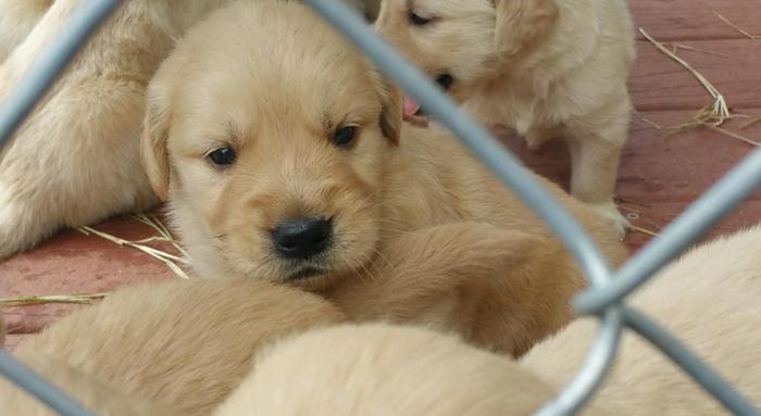 Akc Reg Golden Retriever Puppies For Sale In Ridge Manor Estates