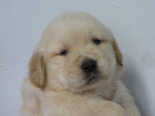 AKC reg. golden retriever puppies, show quality, dew