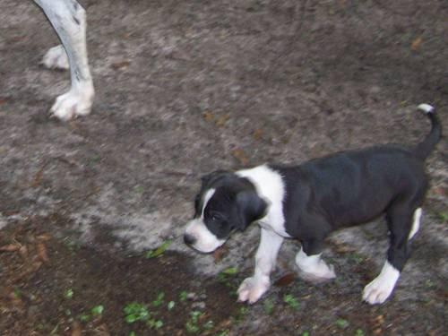 akc.reg. great dane puppies