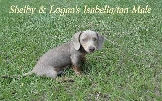 AKC reg. Isabella/tan Male Mini Dachshund