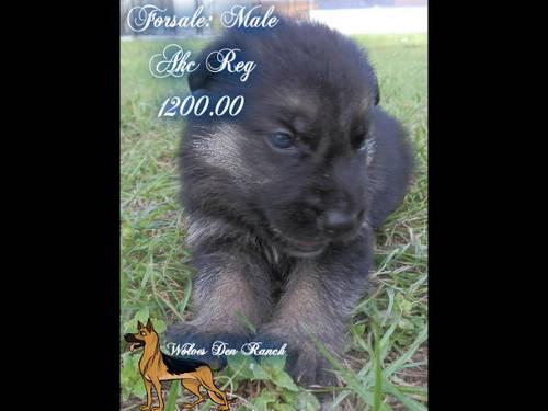 Akc Reg Male German Shepherd Puppies