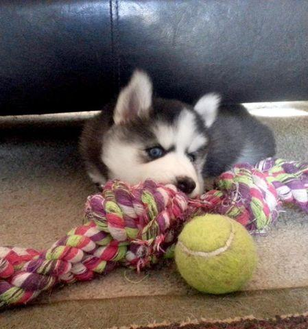 Akc Reg Siberian Husky Puppy For Sale In Johnson City Tennessee