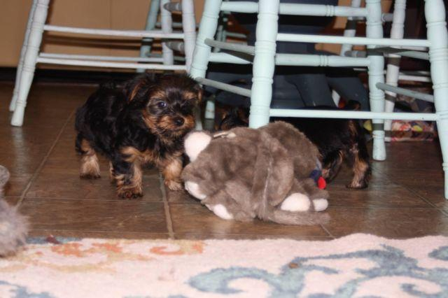 Akc Reg Yorkie Puppies For Sale In Magnolia Texas