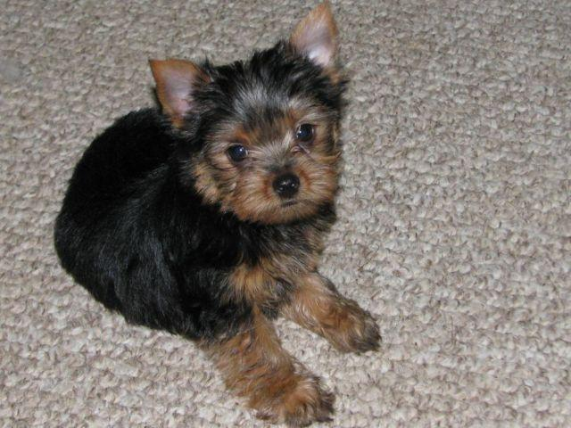AKC. Reg. Yorkshire Terrier Puppies