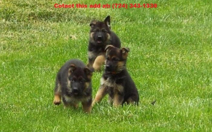 Akc Register German Shepherd Puppies For Adoption For Sale In Tallahassee Florida Classified