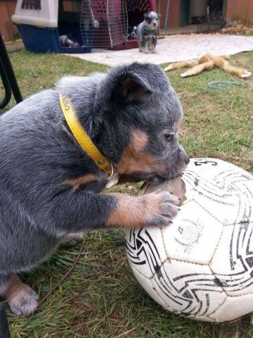 AKC Registerble Australian Cattle Dog puppies.