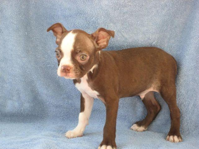 Akc Registered Red Boston Terrier Puppies For Sale In Farlen