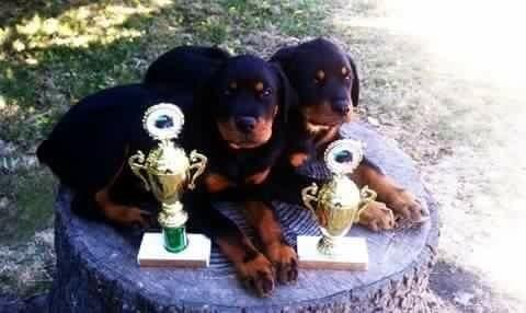 Akc Registered 100 German Rottweiler Puppies For Sale For Sale In