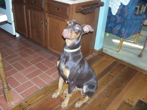 AKC Registered Adult Female Doberman (Red & Rust)