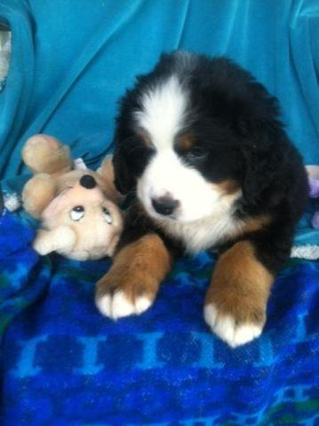 Bernese Mountain Dog Classifieds Buy Sell Bernese