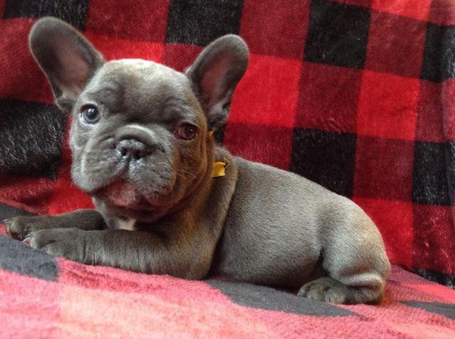 french bulldog puppies for sale in wisconsin akc registered blue french bulldog puppies for sale in 4949