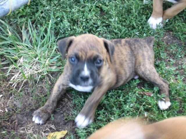 Akc registered boxer puppies for sale in hart missouri classified