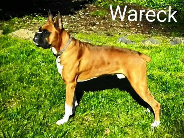 Akc registered boxer puppies for sale in bethel washington classified