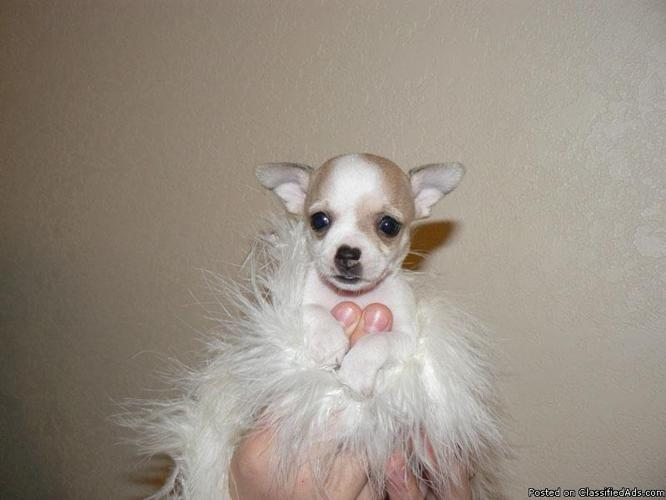 chihuahua puppies for sale in nc akc registered chihuahua puppies for sale in asheboro 416