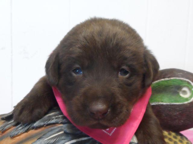 AKC Registered Chocolate Yellow & White labrador Puppies (4