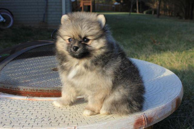Akc Registered Cream Sable Pomeranian Puppy For Sale In Bristow