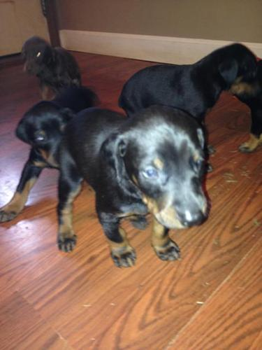 AKC Registered Doberman Pinscher puppies