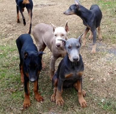 AKC Registered Doberman Pinscher Puppy for sale