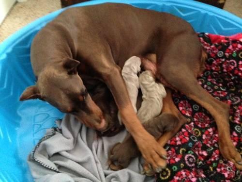 AKC Registered Doberman Puppies For Sale in Idaho Falls, ID 83402