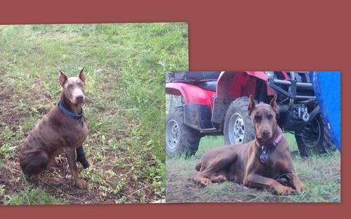 AKC Registered Doberman Puppies For Sale in Idaho Falls, ID