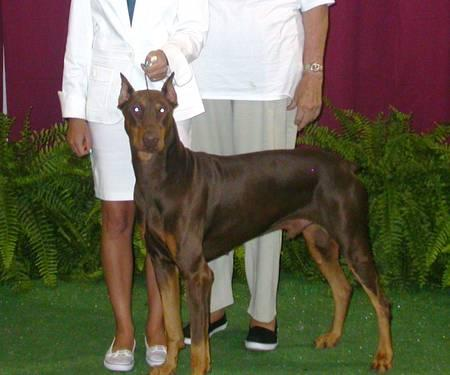 AKC REGISTERED Doberman Standing at stud.