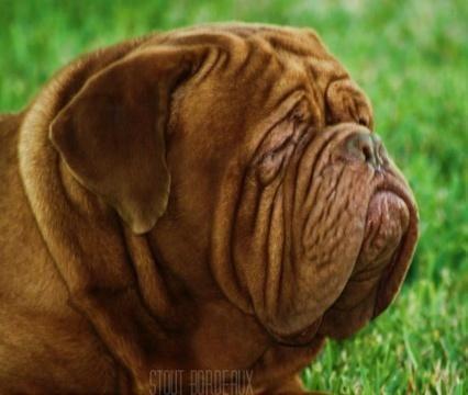 AKC Registered Dogue de Borrdeaux (French Mastiff) Turner ...