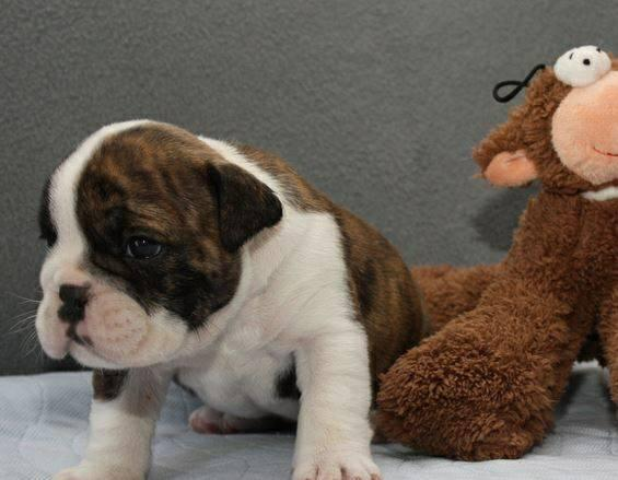 Akc Registered English Bulldogs Puppies Adoption