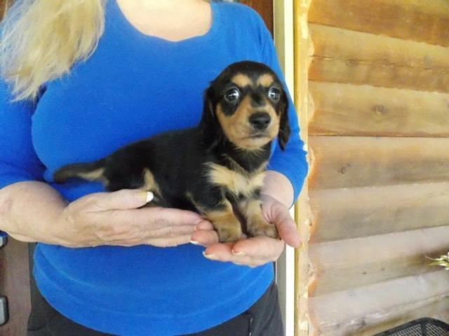 AKC Registered Female Black & Tan Long Hair Miniature