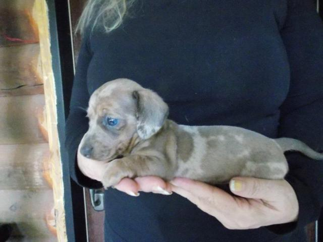 AKC Registered Female Blue & Tan Miniature Smooth