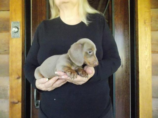 AKC Registered Female Isabella Fawn Miniature Smooth