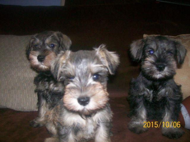 AKC REGISTERED FEMALE MINIATURE SCHNAUZER