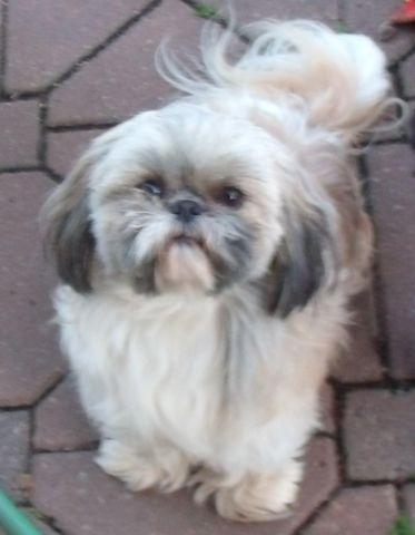 shih tzu rescue va akc registered female shih tzu for adoption for sale in 4194