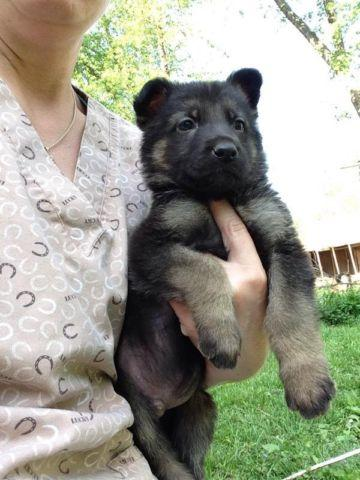 AKC registered full-blooded German shepherds puppies