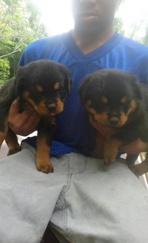 akc registered german rottie pups