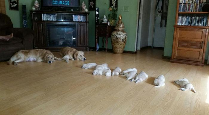 Akc Registered Golden Retriever Puppies For Sale In Tallahassee