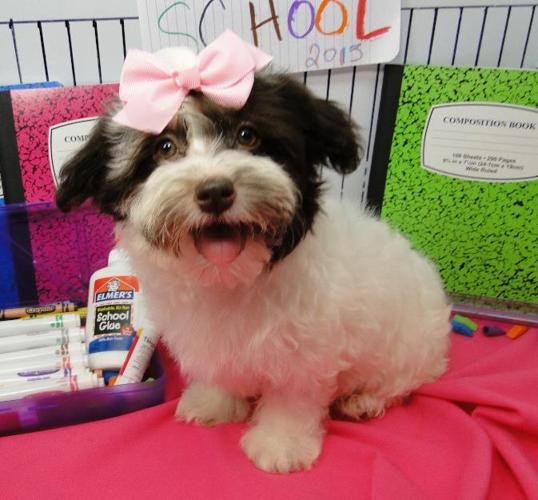 Akc Registered Havanese Puppies For Sale For Sale In Tulsa Oklahoma