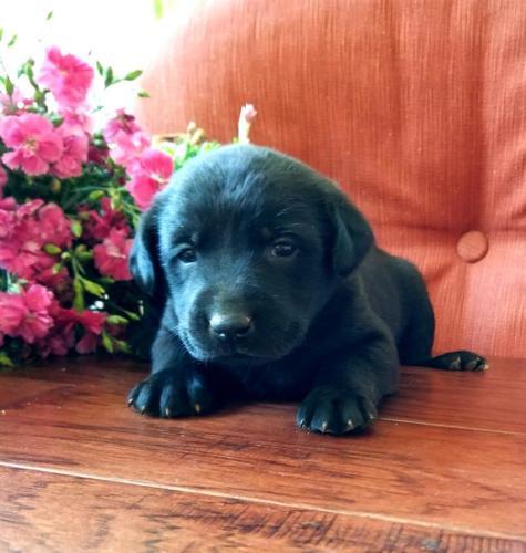 Akc Registered Lab Puppies