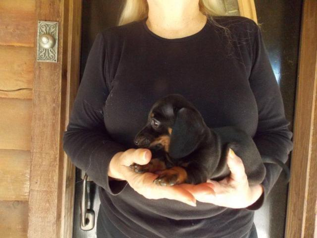 AKC Registered Male Black & Tan Miniature Smooth