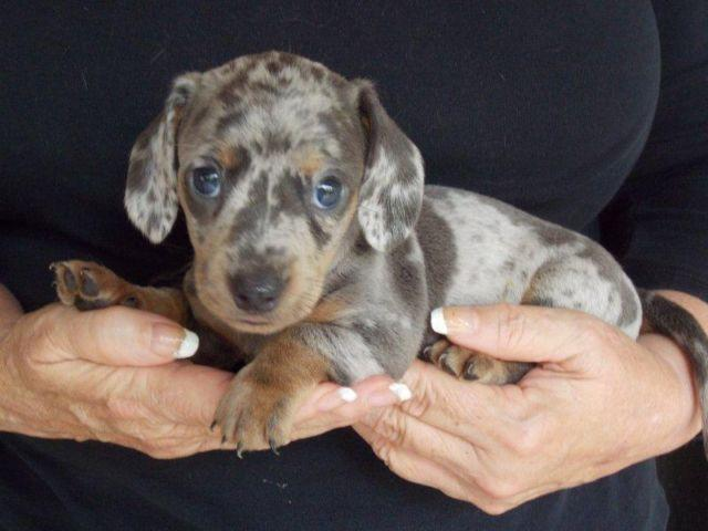 dapple dachshund puppy for sale in Texas Classifieds & Buy and Sell