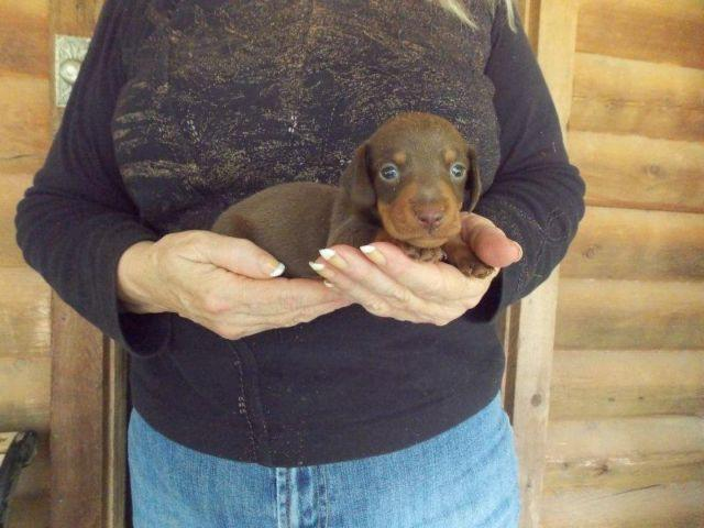 AKC Registered Male Chocolate Miniature Dachshund Puppy