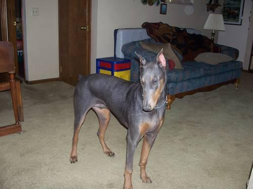 AKC Registered Male Doberman Pup (JUST REDUCED