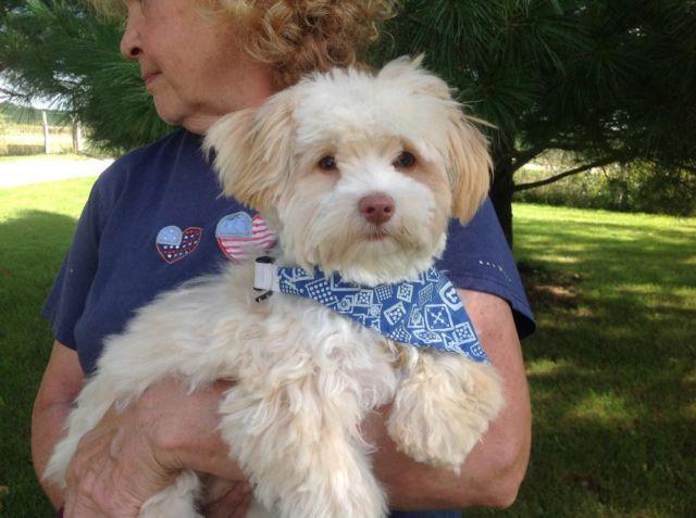 Akc Registered Male Havanese Puppy For Sale In Co Bluffs Iowa