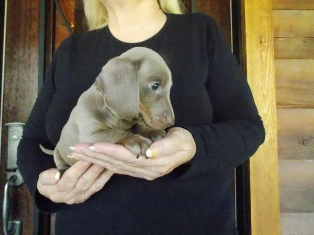 AKC Registered Male Isabella Fawn Miniature Smooth