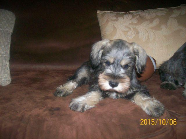 AKC REGISTERED male Miniature Schnauzer