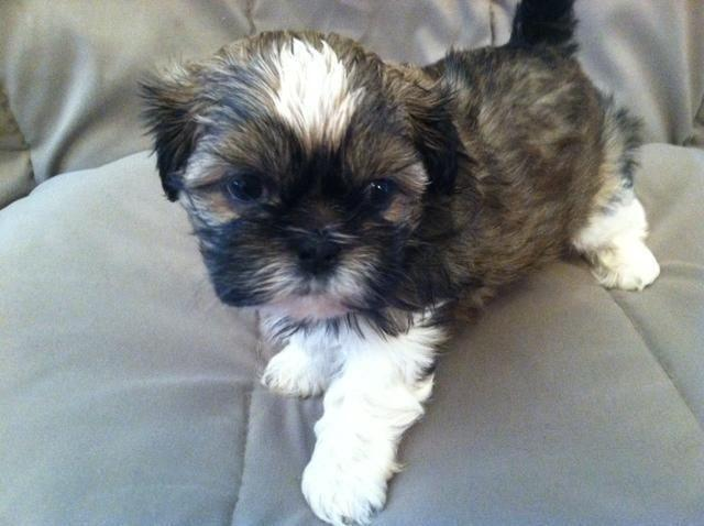 akc shih tzu puppies for sale akc registered male shih tzu puppy for sale in alta loma 3599