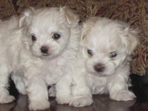 AKC registered Maltese puppies/ born Jan. 28th