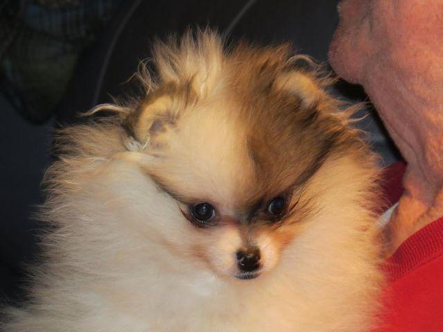 AKC registered Pomeranian orange sable parti-color