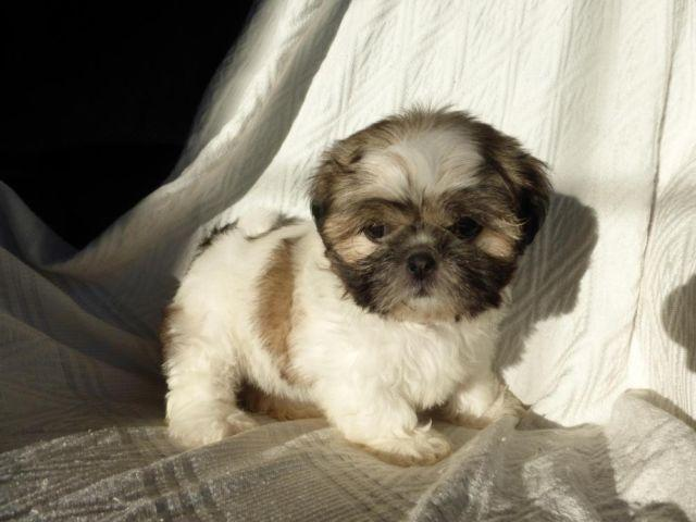 shih tzu purebred akc registered purebred shih tzu puppy for sale in 1540