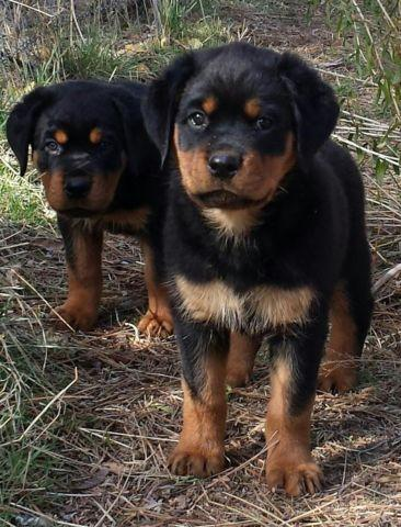 Akc Registered Rottweiler Puppies 2 Females For Sale In Beatty
