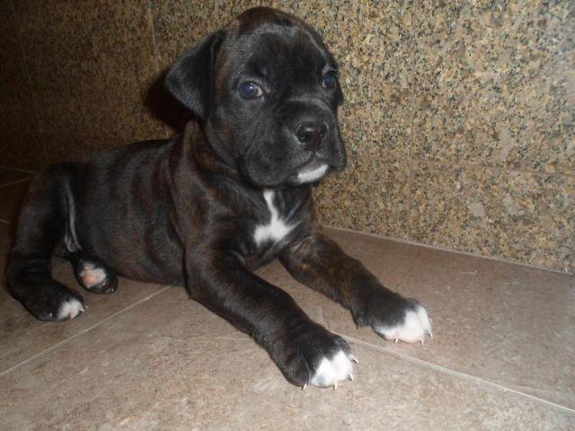 AKC registered Royal Black Boxer Puppies